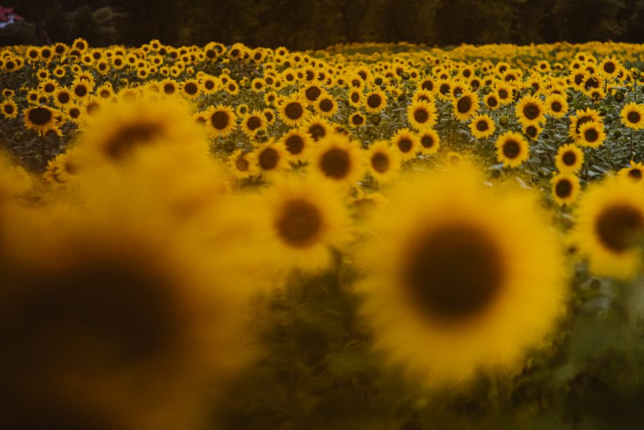 sesja foto w słonecznikach